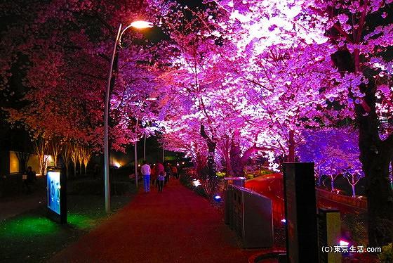 桜がライトアップ