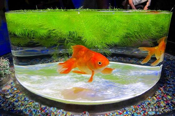 金魚を使ったアート