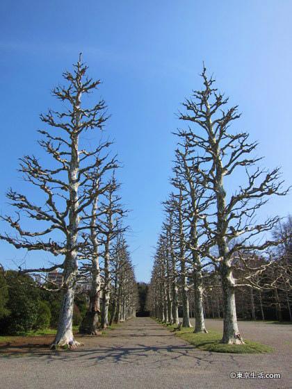 新宿御苑の鈴懸の並木