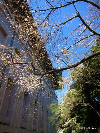 穴場の東京国立博物館の桜