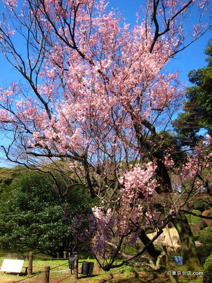 上野で穴場の桜