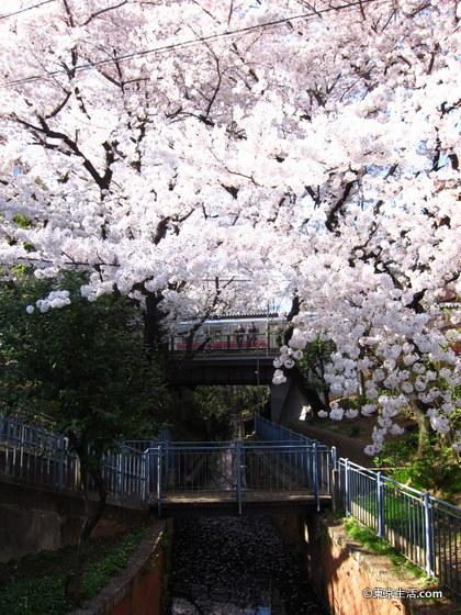代田橋の桜