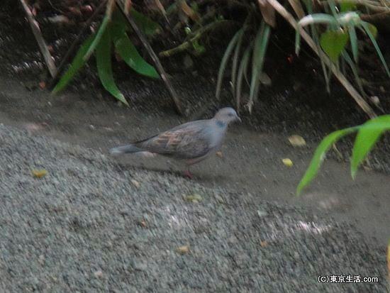 明治神宮の鳩