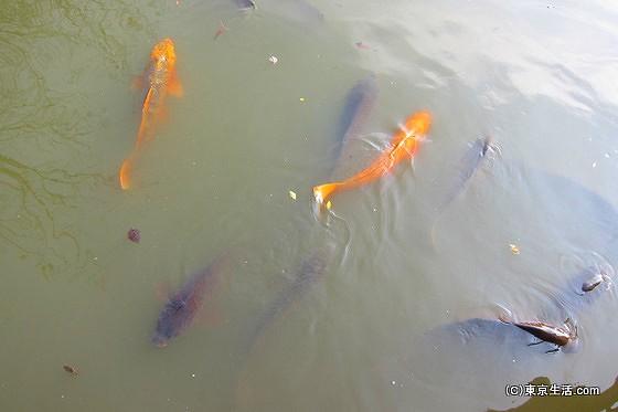 井の頭公園の鯉