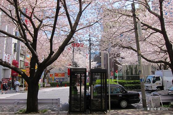 駒込の桜のロータリー