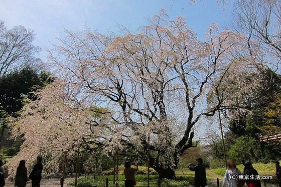 駒込の散歩|六義園のしだれ桜 2012の画像