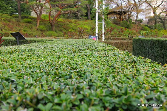旧古河庭園の生垣