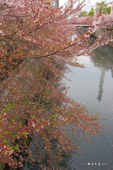 目黒川と桜