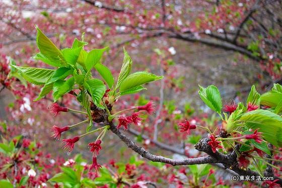 葉桜状態の目黒川の桜