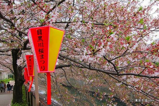 目黒川の桜の満開の時期