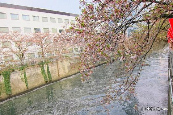 目黒の散歩|目黒川の散りかけの桜が綺麗らしいの画像