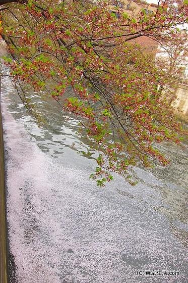 目黒川の桜の花びら