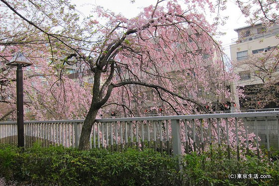 目黒川のしだれ桜