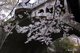 音無親水公園の渓谷は花見の穴場でした|王子の桜