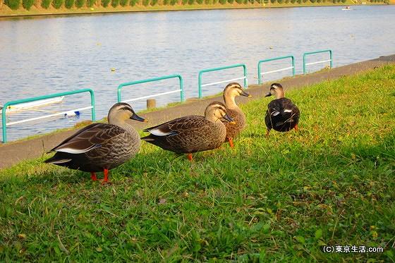 戸田ボート競技場の鴨