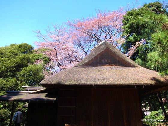 国立博物館の庭園は、お花見の穴場でした|上野の桜