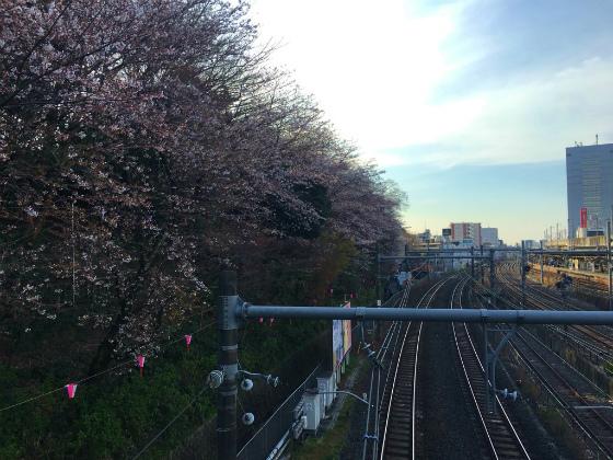 2017年の飛鳥山の桜